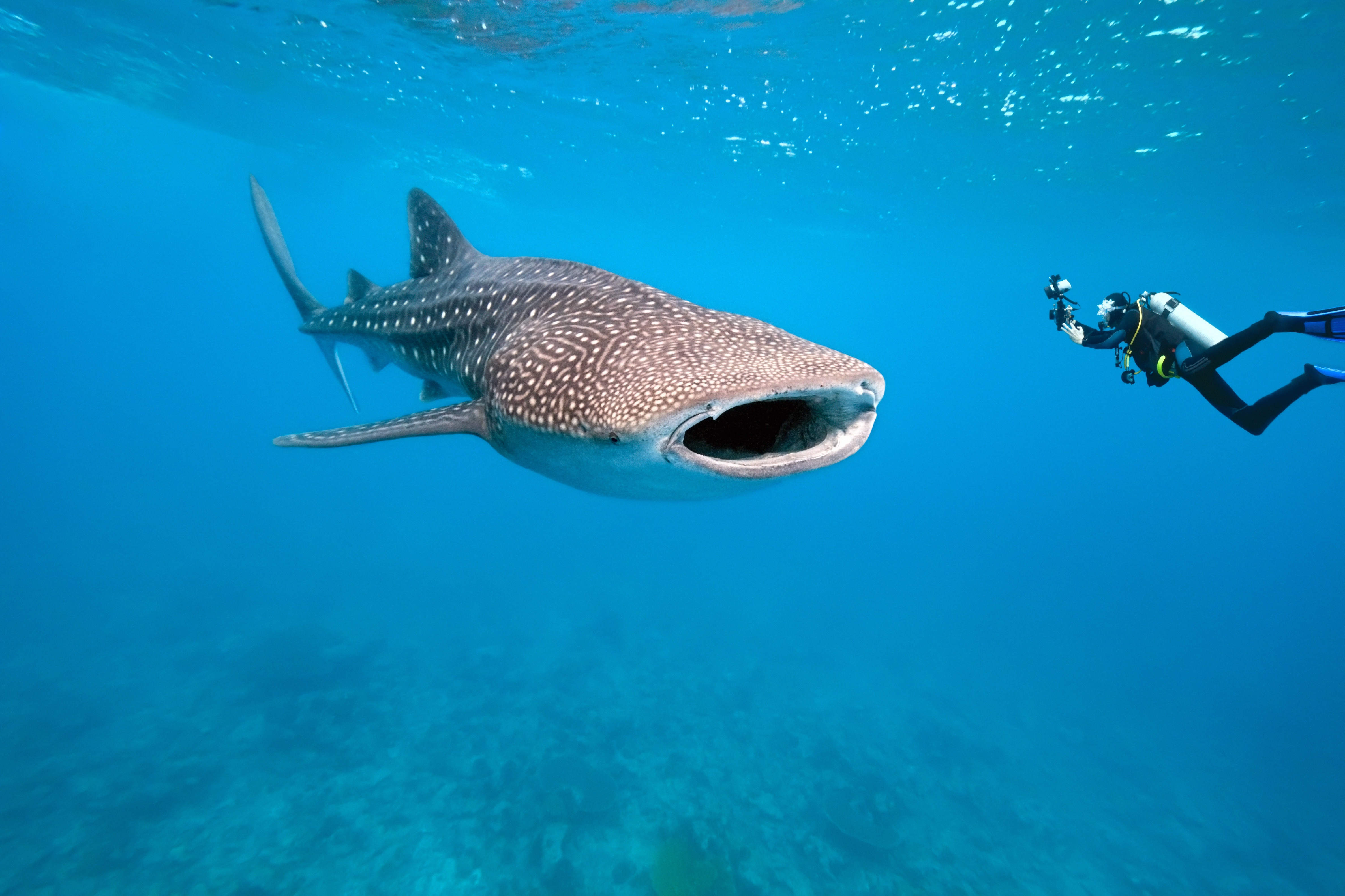 A diver, face to face with a whale shark. © Krzysztof Odziomek