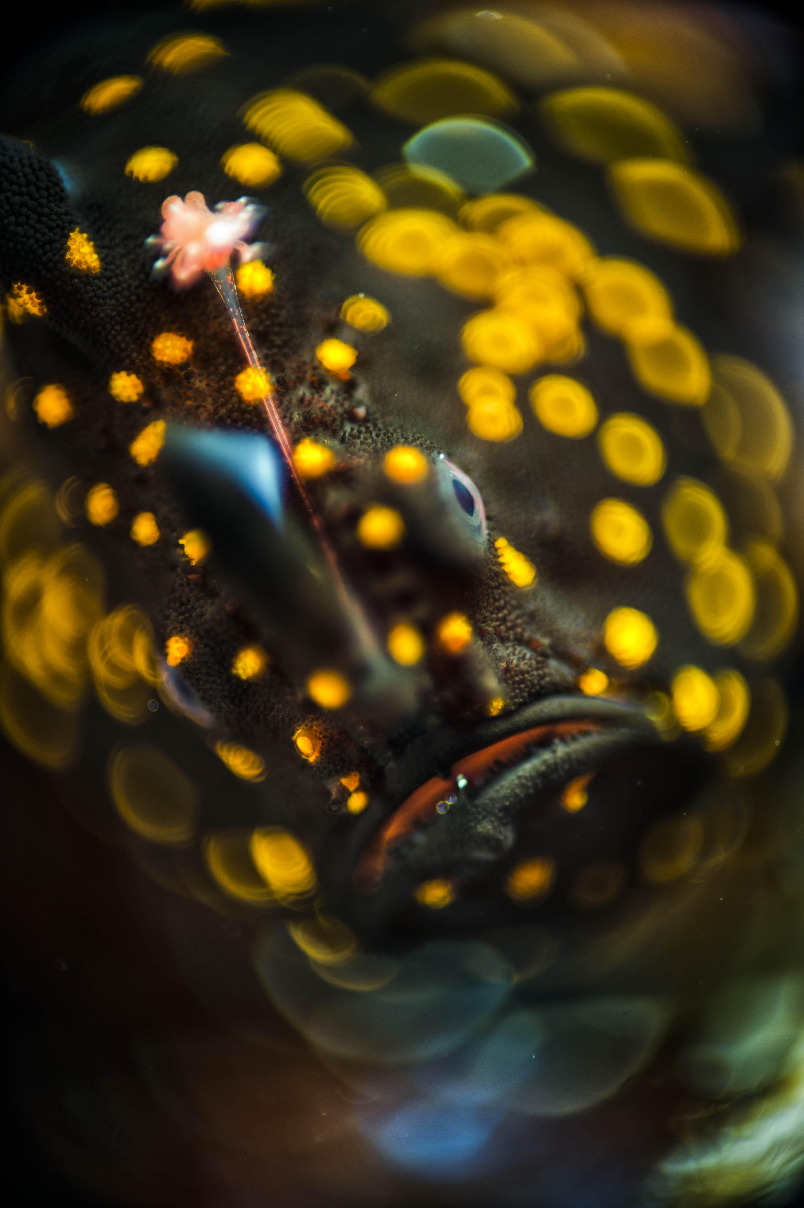 """I wasn't gonna back down so my research and testing paid off when I shot ""Bokehlicious"". It was a black frogfish with yellow spots. That got the hype going."" © Imran Ahmad"