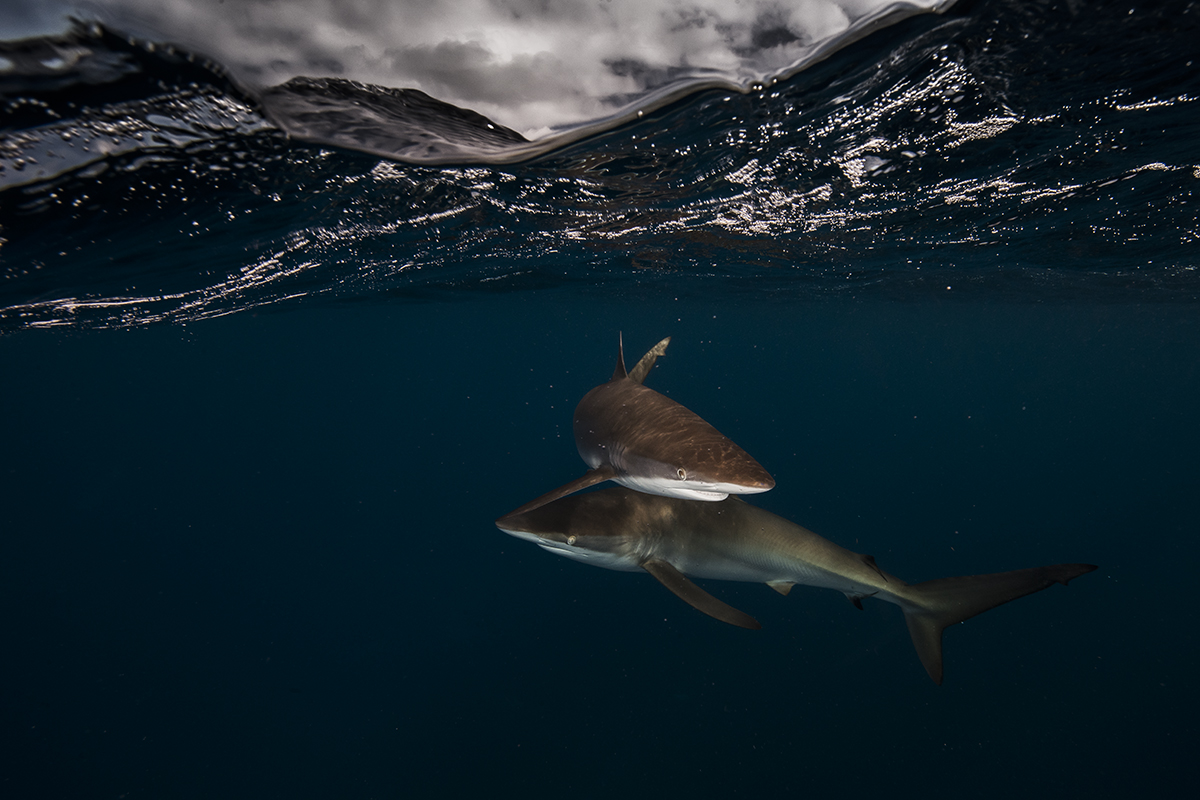 Silky sharks Carcharhinus falciformis at the Gardens of the Queen (Jardines de la Reina) Cuba © Matthew Smith