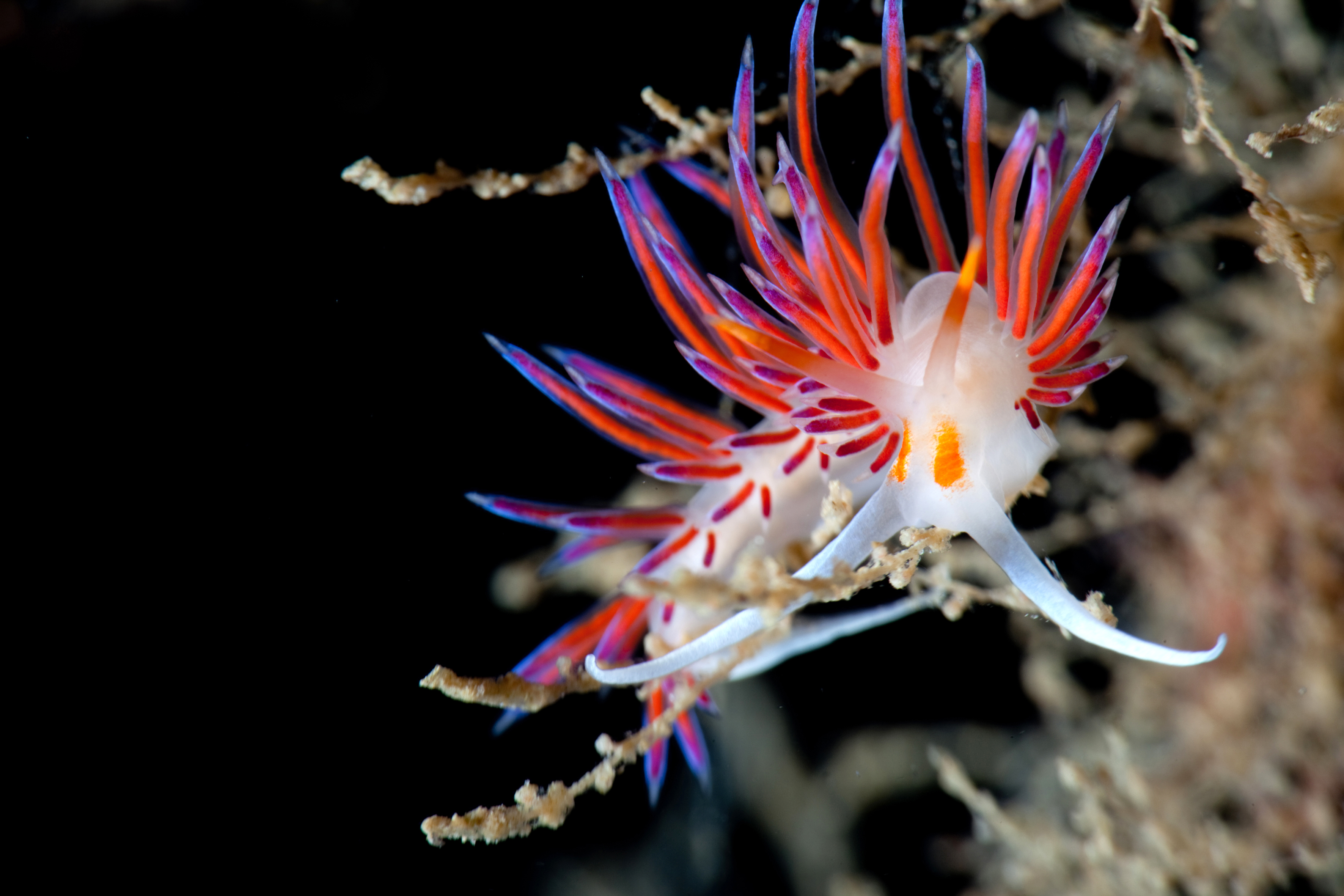 Grambonisi Deep combines rocky walls filled with diverse macro life and Neptune Grass on the bottom. This Cratena peregrina nudibranch is very common in the Mediterranean © Nicholas Samaras