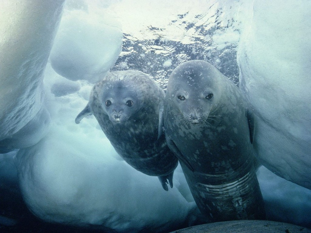 Two weddell seals underwater. © Wikimedia Commons