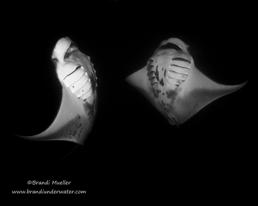 """Two mantas were doing barrel rolls and I caught them belly-to-belly..."" © Brandi Mueller"