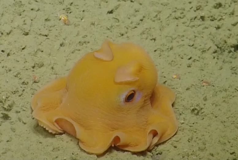 """The size of a human fist, and with features vaguely reminiscent to those of the ghosts in Pac-man, the tiny pink flapjack octopus has caught the attention of the marine science world."" © Youtube.com"