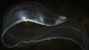 Larval Stage Moray Eel