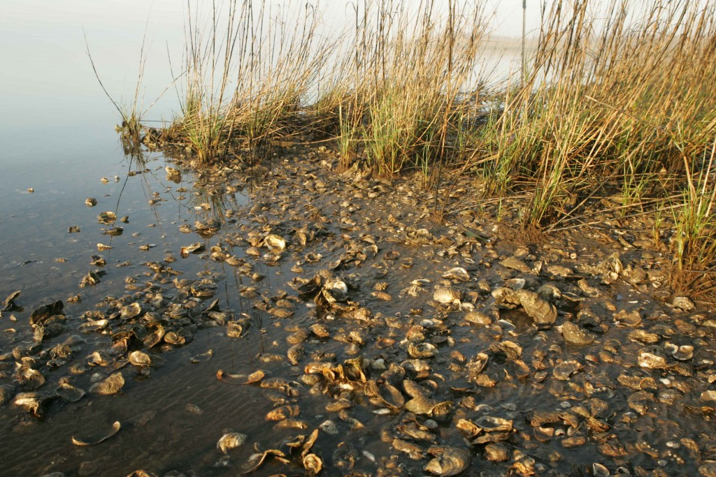 Oyster shells washed up in a marsh © Wikimedia Commons