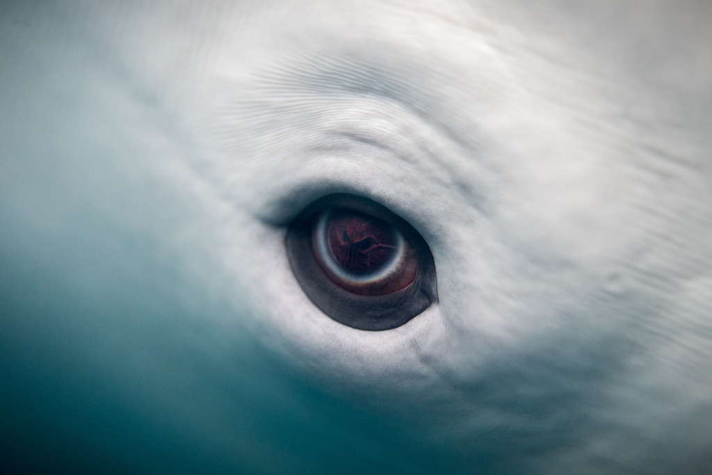 Beluga eye up close © Wikimedia Commons