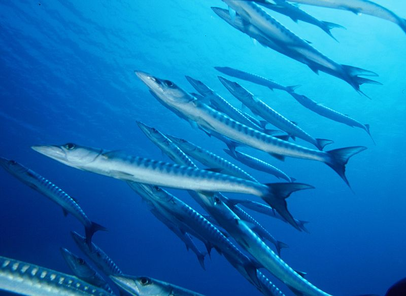 School of barracuda at Ataúro Island © Nick Hobgood