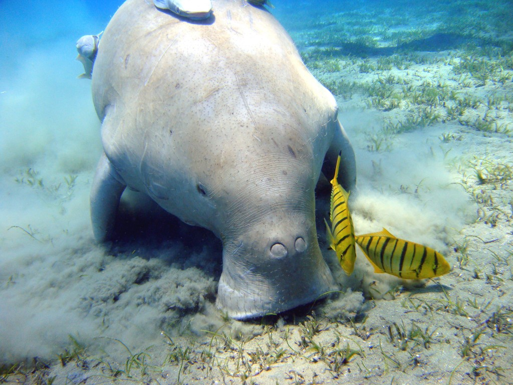 Dugong feeding on the seabed © WIkimedia Commons