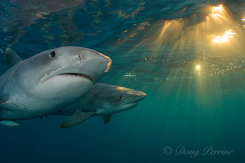 tiger sharks, Galeocerdo cuvierSouth Africa (Indian Ocean)
