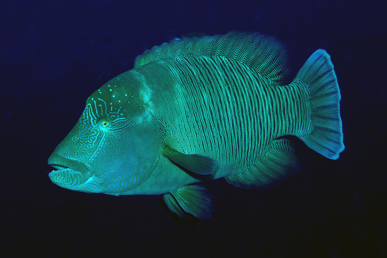 A humphead wrasse swims in the waters near Timor-Leste, Atauro Island. © Gerry Allen
