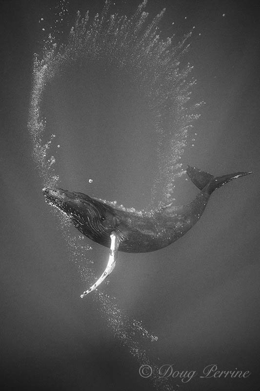 """'Humpback Bubble Art': """"Most of the interesting things that go on in the ocean have still yet to be photographed."""" © Doug Perrine"""