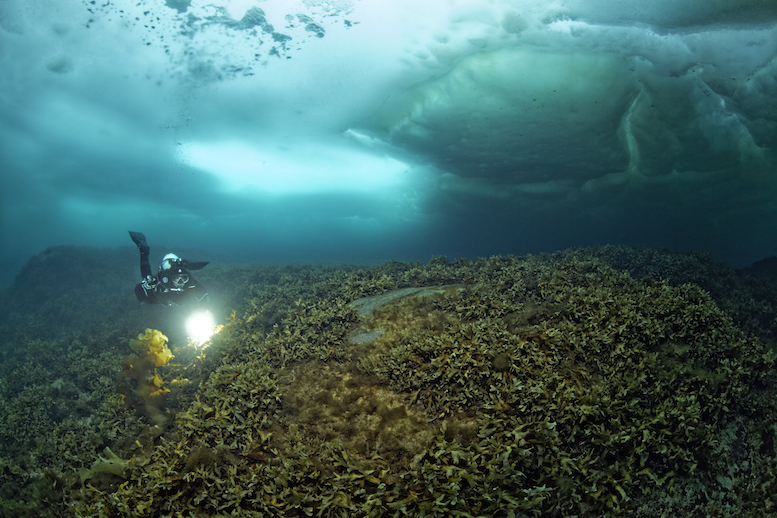 Short kelp forest under the ice, covered in snow, with a diver holder a lamp to show dimensions, near Tasiilaq, East-Greenland, Atlantic Ocean, Arctic. © Tobias Friedrich