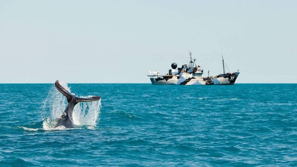 A reminder of why Sea Shepherd do what they do. An orca surfaces in front of a Sea Shepherd vessel © Vimeo.com