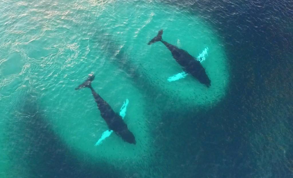 humpbacks-and-herring