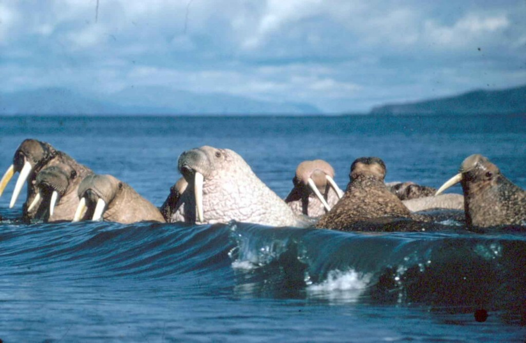 Large walruses bathe and play in the waves © Public Domain Images