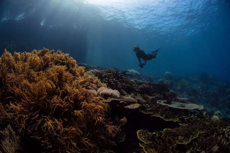"""Senior Editor Alice Grainger freediving in the Banda Sea. """"The fish are in abundance, busying about their lives, the coral is spectacular, and without pause. This would set the scene for nearly every dive of the expedition."""" © Aaron Wong"""