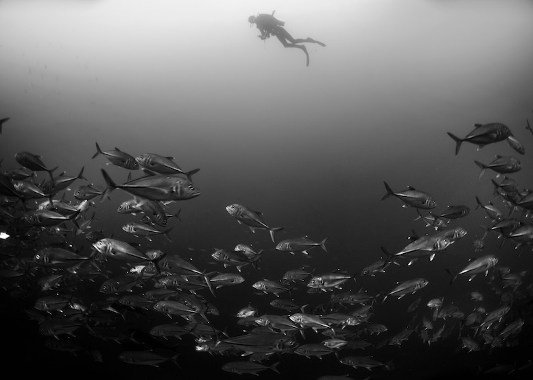 """""""Silver trevallies, a romantic pair of fire dartfish, a turtle, bumphead parrotfish, a banded sea snake and a rare rockmover wrasse, and this was the first dive of the day!"""" © Aaron Wong"""