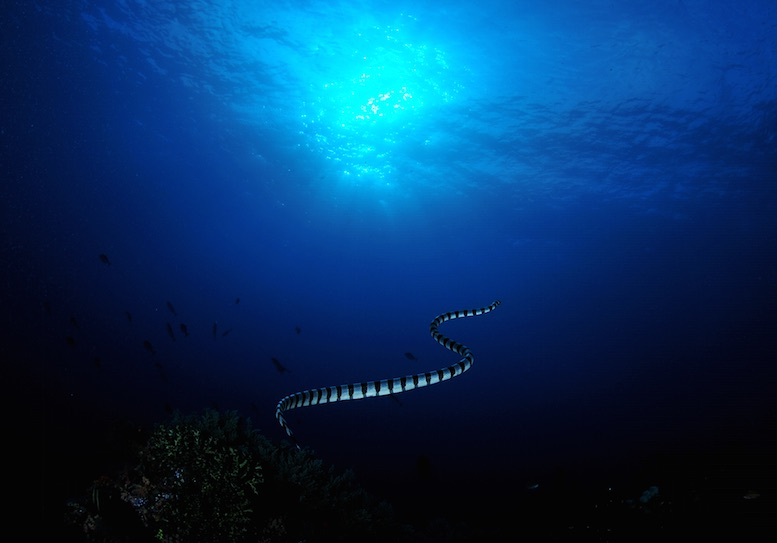 """The activity is definitely hotting up, but we are shocked and saddened to discover that the population of green and banded sea snakes at Gili Manuk is severely depleted."" © Aaron Wong"